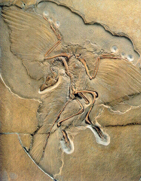 [Fossil of a small flying dino]